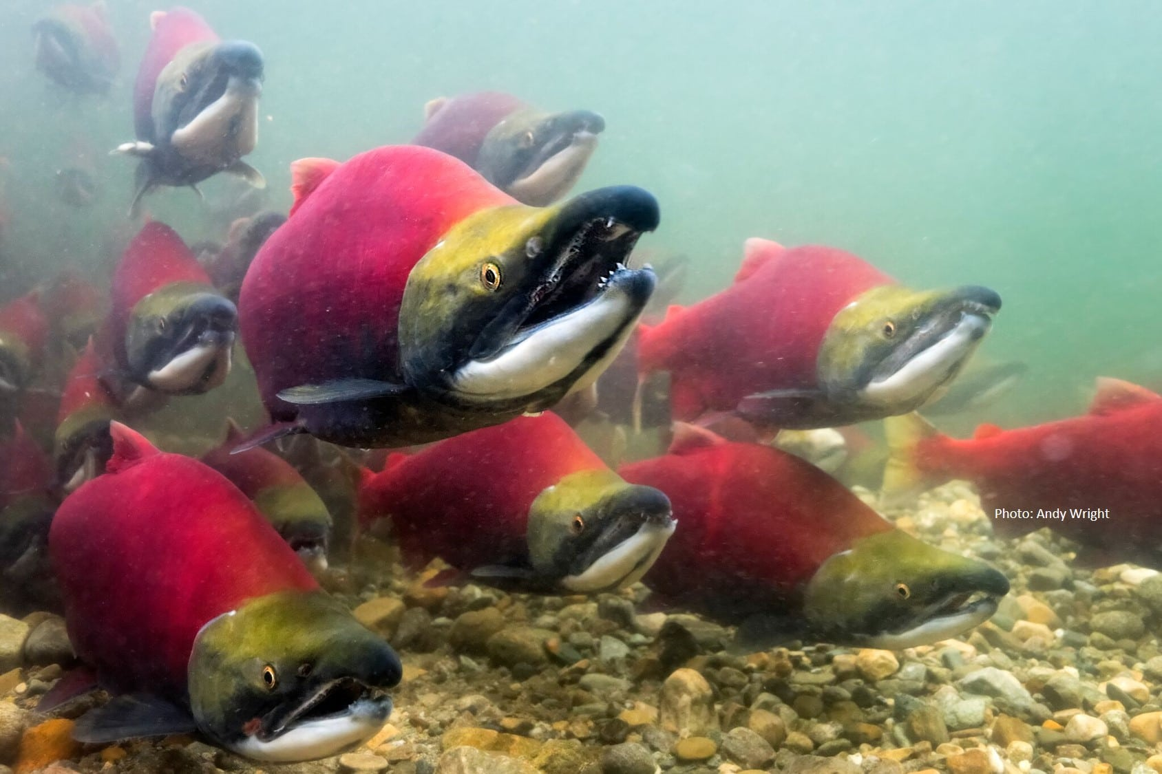 Adams River Sockeye A.S. Wright