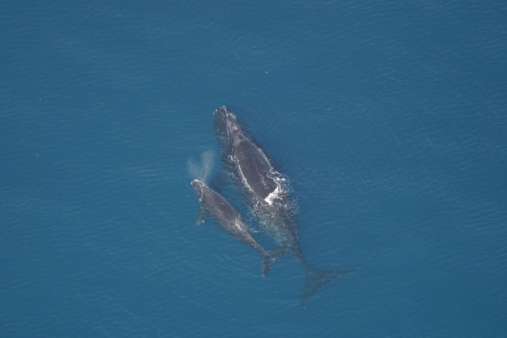 Right-Whales.jpg