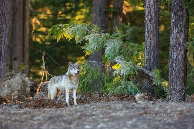 BC-wolf-John-E-Marriott.jpg