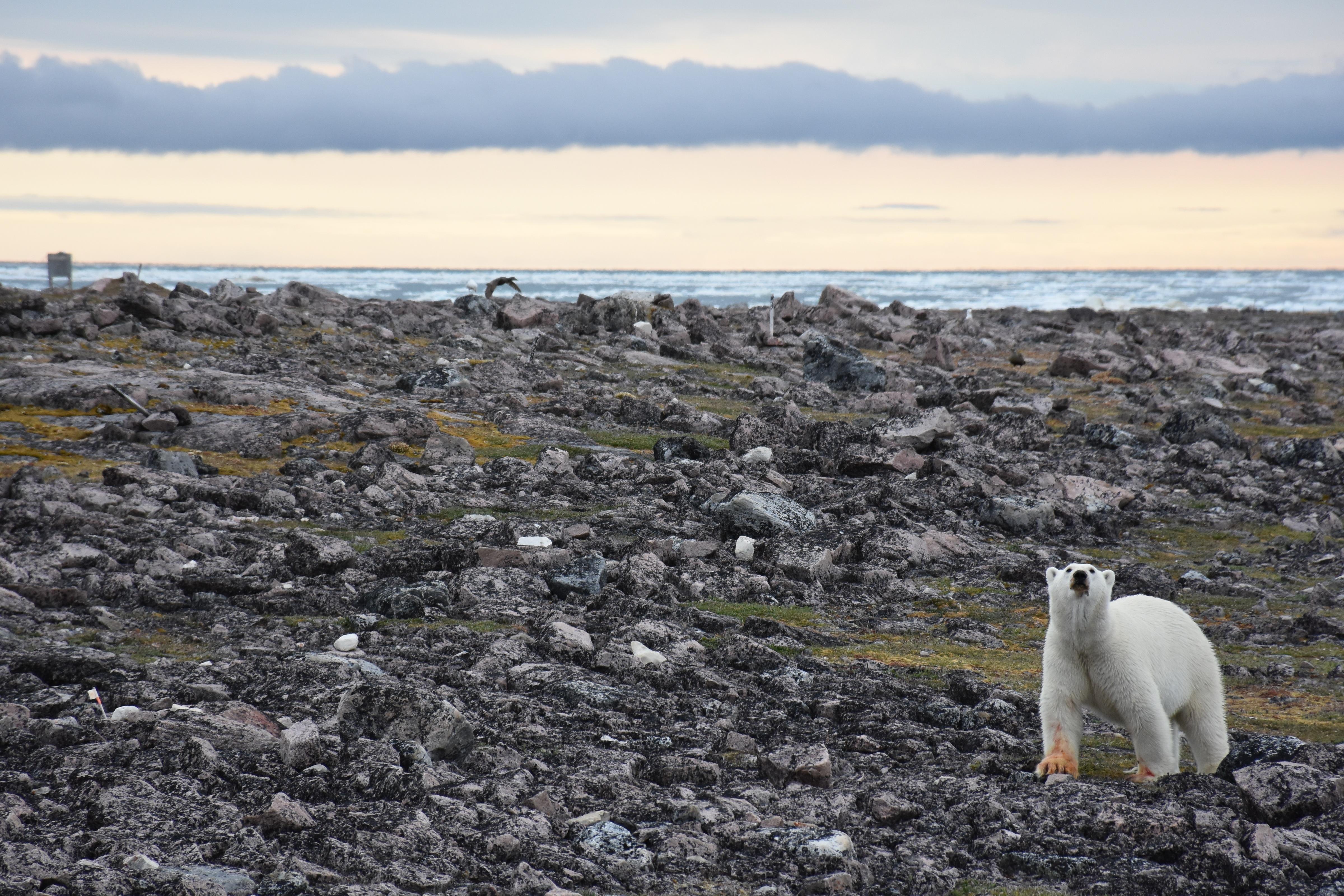 Eider Ducks Polar Bears