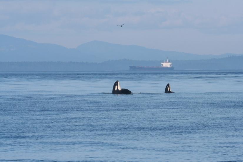 Endangered-killer-whales-eye-an-oil-tanker.jpg