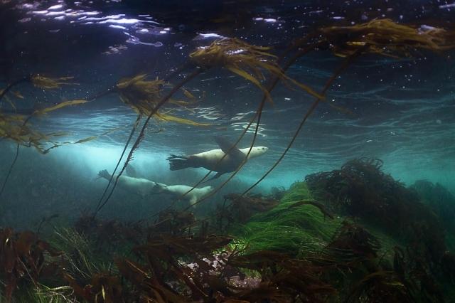 Great-Bear-Wild-Ian-McAllister-seals-swimming.jpg