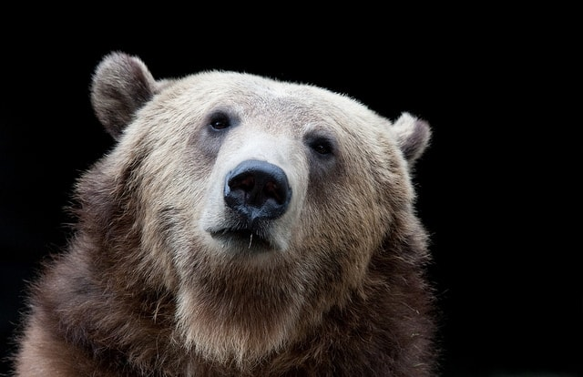 Grizzly-Bear-by-Nathan-Rupert.jpg