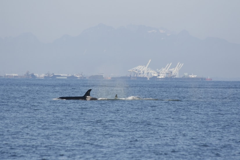 Killer-whales-Delta-Port-docks.jpg