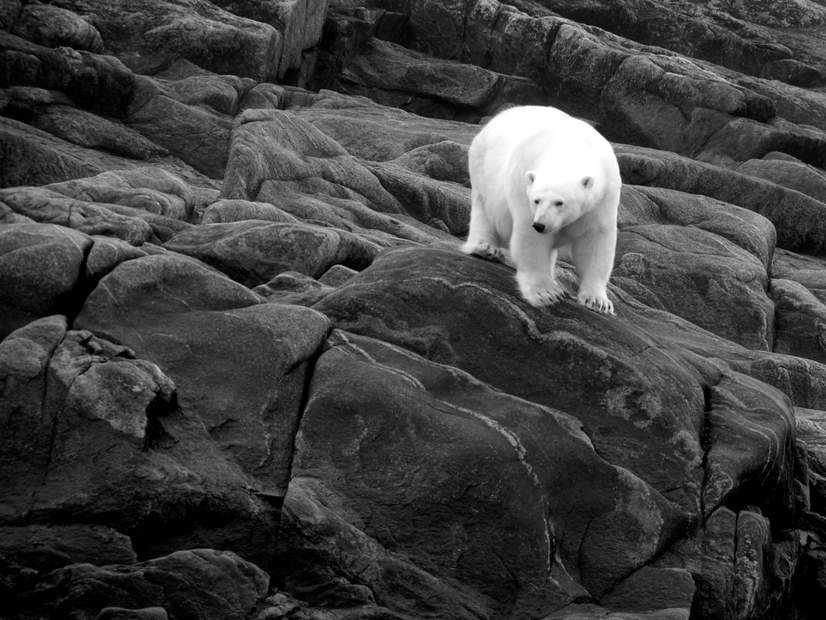 Polar-bear-blogs.jpg