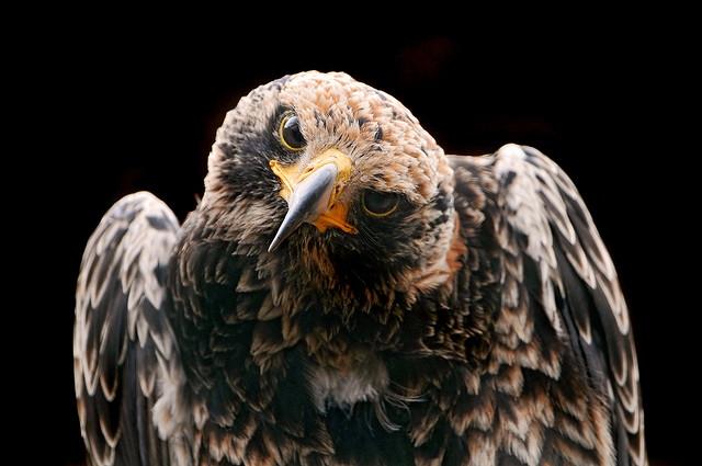 bird-of-prey-by-Tambako-The-Jaguar.jpg