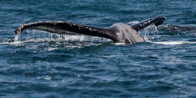 humpback-mike-baird-1.jpg