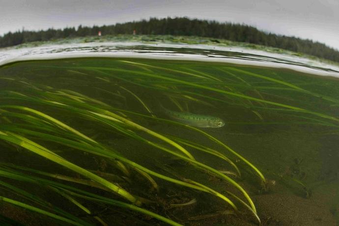 juvenile-salmon-flora-bank-PNW-LNG-Tavish-Campbell.jpg