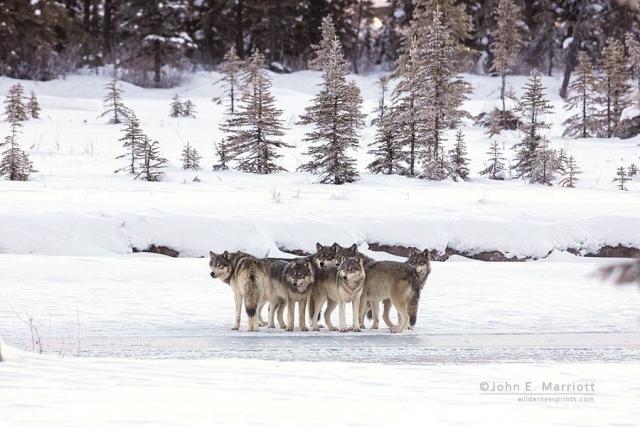 wolves-john-e-marriott.jpg