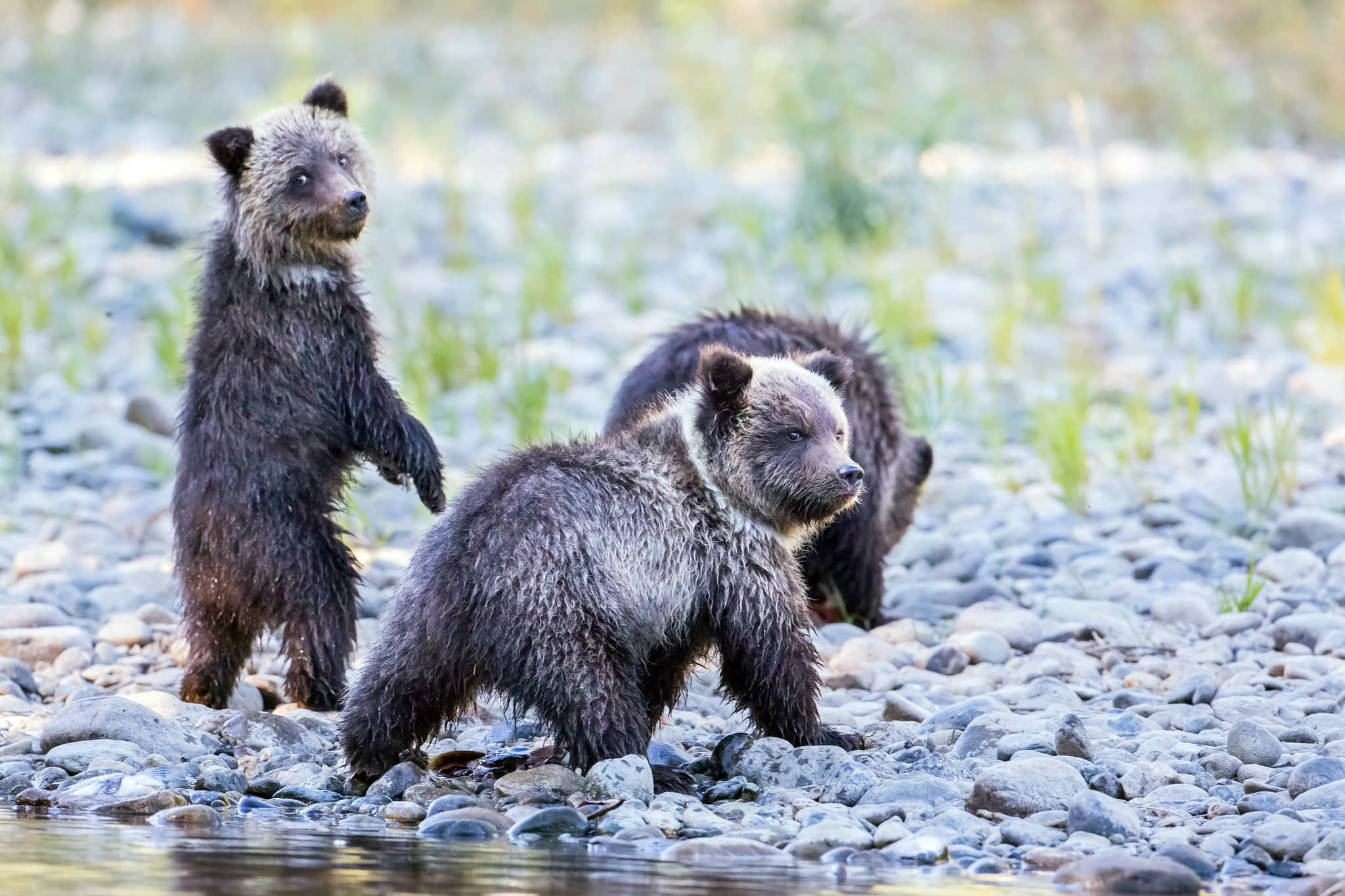 grizzly-bear-hunt-bc