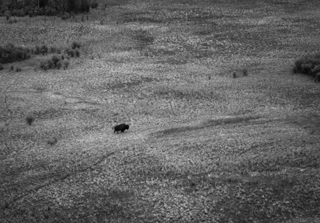 Lone bull bison crossing a field in Wood Buffalo National Park.