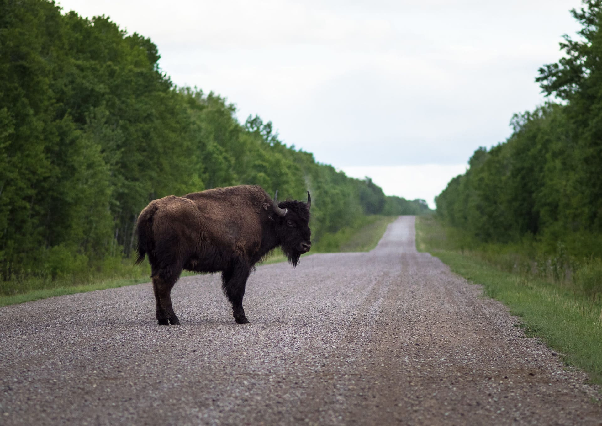 Bison in Wood Buffalo National Park Louis Bockner