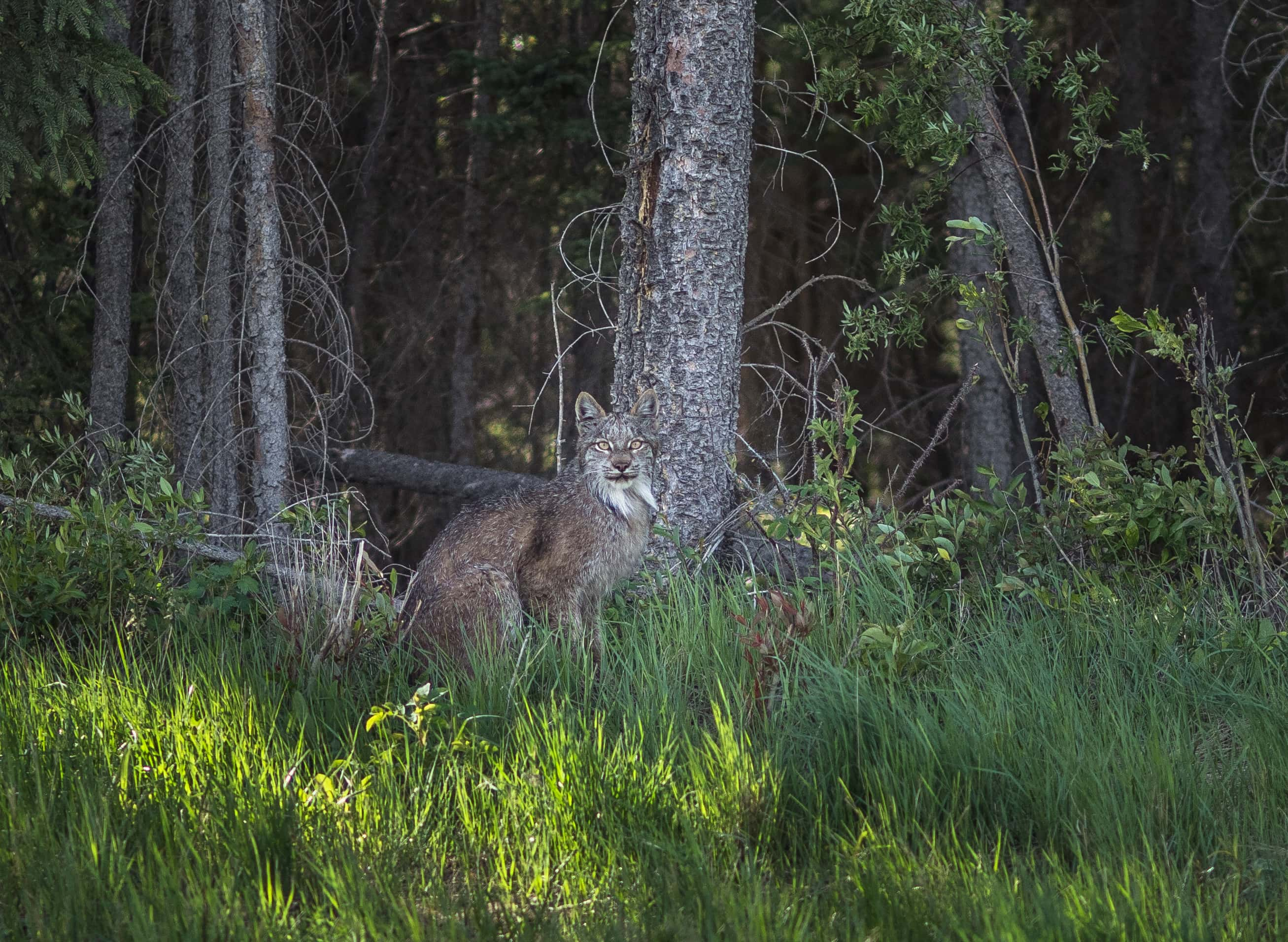 A lynx blends shows off its stunning comouflage in Wood Buffalo National Park.