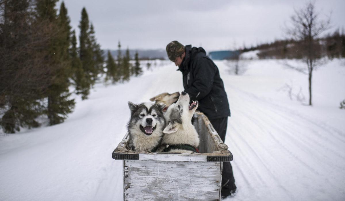 Dogsled Labrador