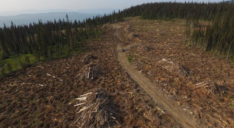 Logging in endangered caribou habitat