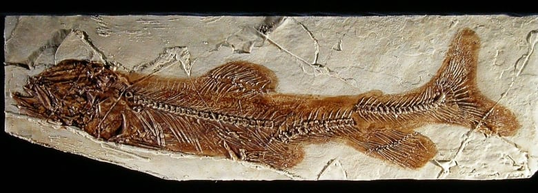 The eosalmo-driftwoodensis fossil B.C.
