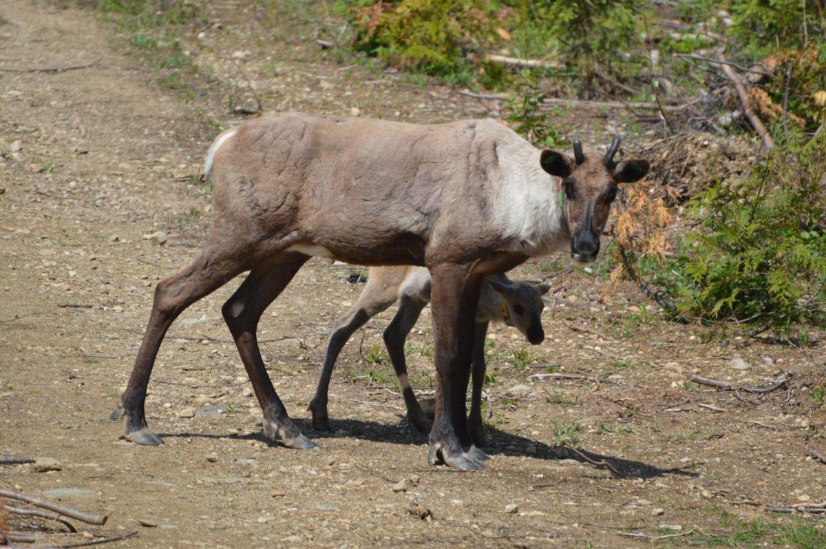 Caribou calf Revelstoke Caribou Rearing in the Wild