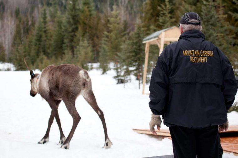 Revelstoke Caribou Penning Project