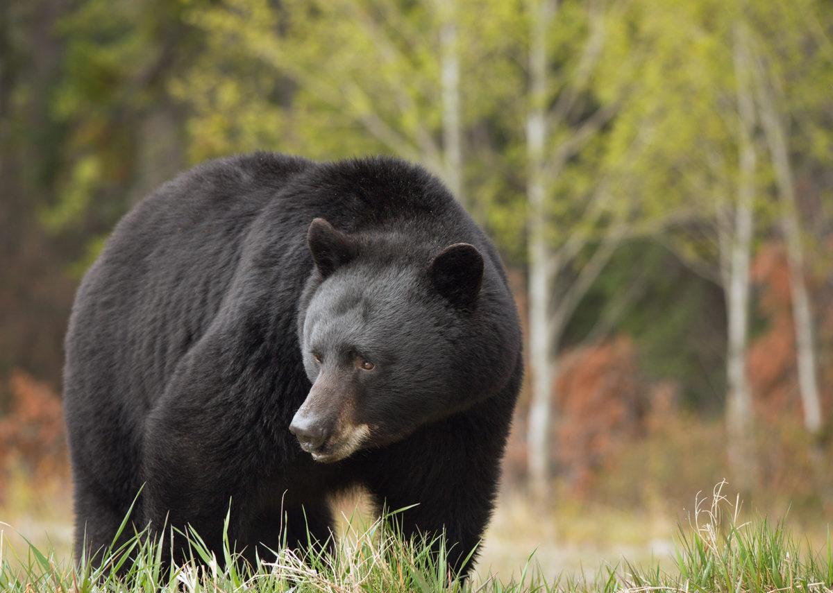 Black bear Bighorn