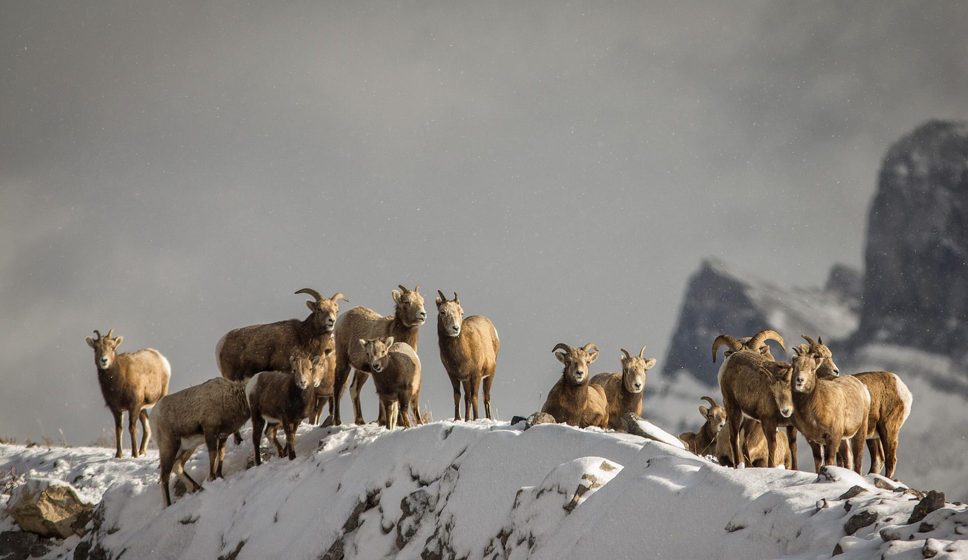 Bighorn Sheep at Windy Point, Abraham Lake, Alberta, Canada