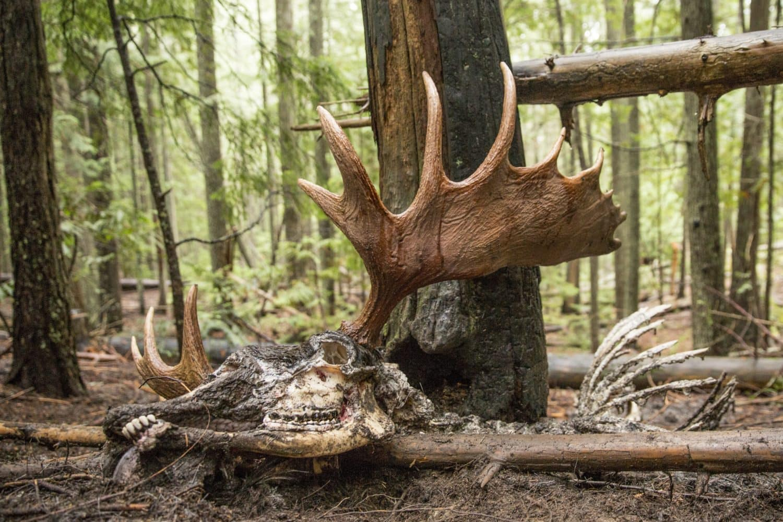 Bull moose remains David Moskowitz