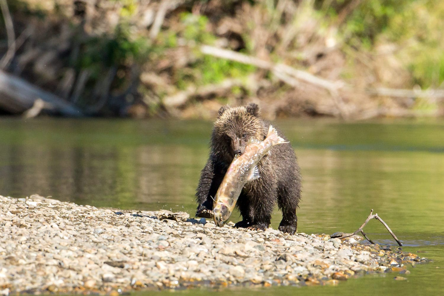 Grizzly cub salmon