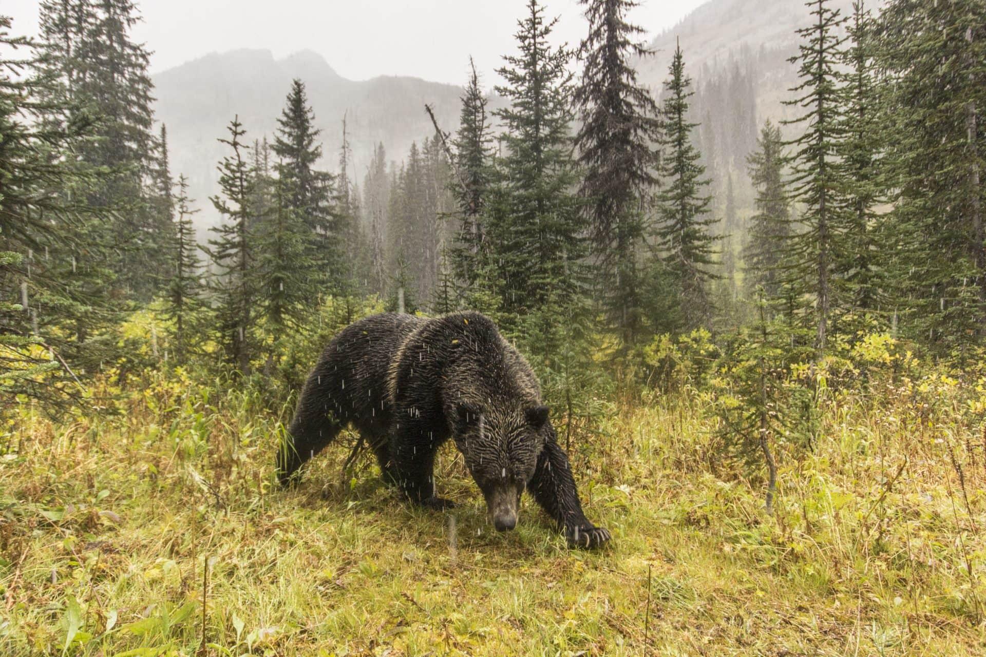 Grizzly bear David Moskowitz