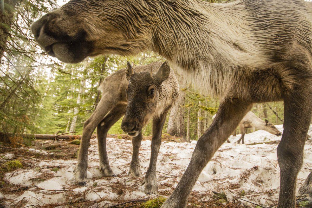 Selkirk caribou David Moskowitz