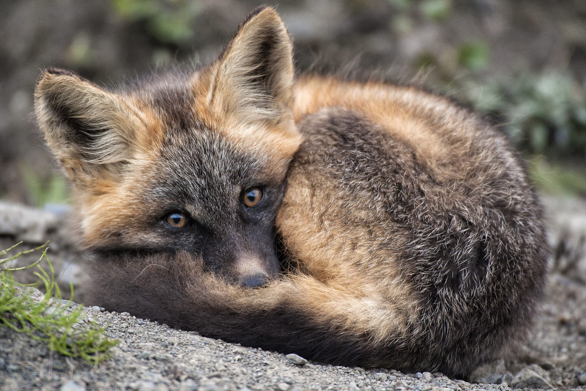 A red fox pup wakes from a nap near its den