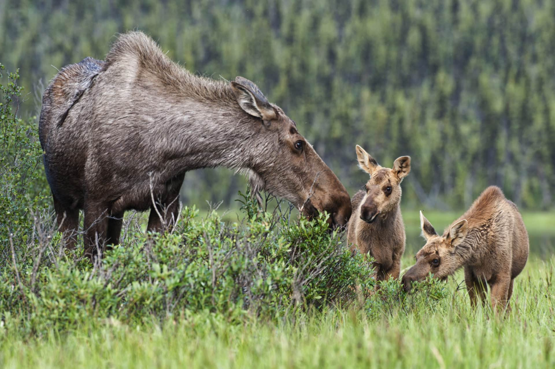 A moose cow and her calves in a meadow