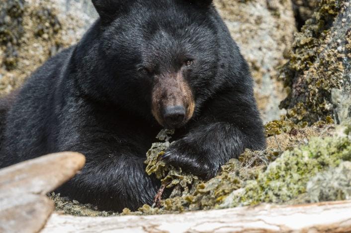 Bear herring roe