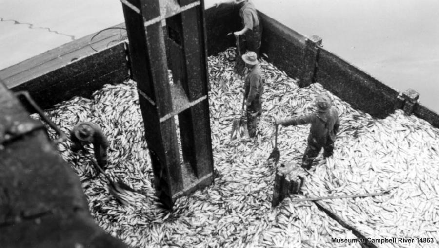 Butedale BC herring harvest 1946