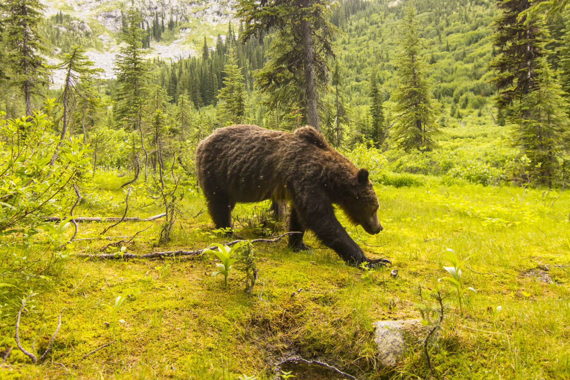 South Selkirk Grizzly Bear David Moskowitz