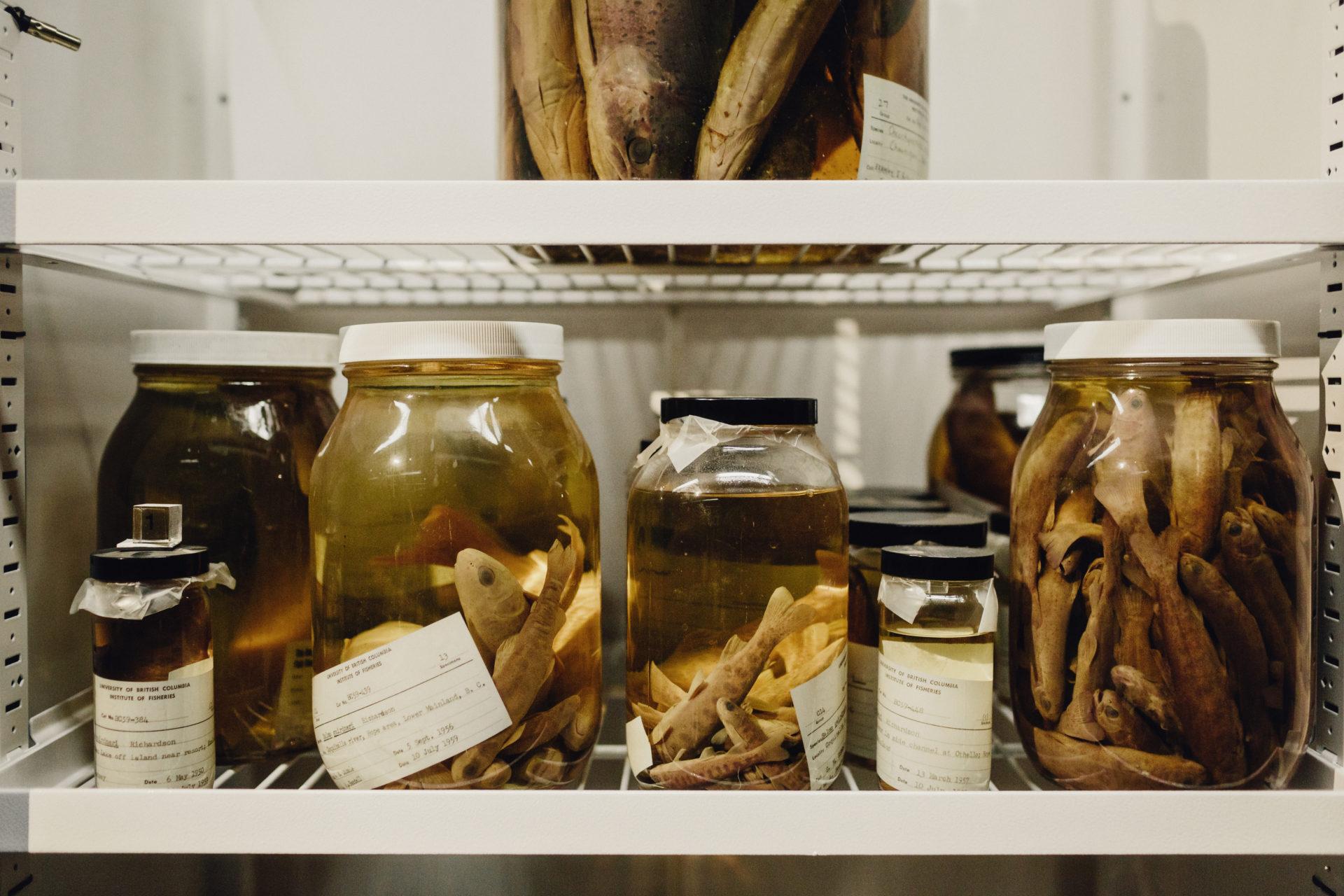 Freshwater fish Beaty Biodiversity Museum