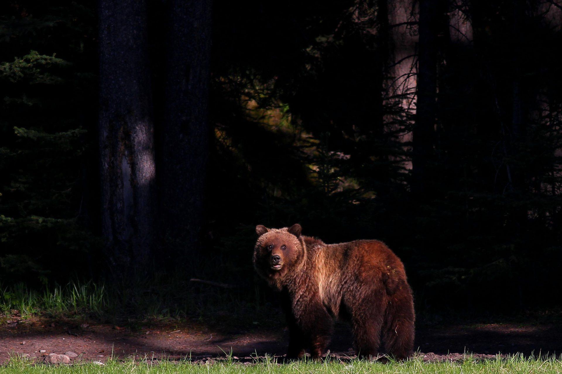 Bear 148 Leah Hennel Banff Golf Course