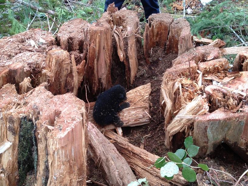 Black bear cub inside second growth stump