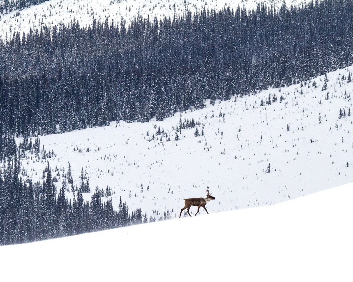 Endangered Mountain Caribou BC David Moskowitz