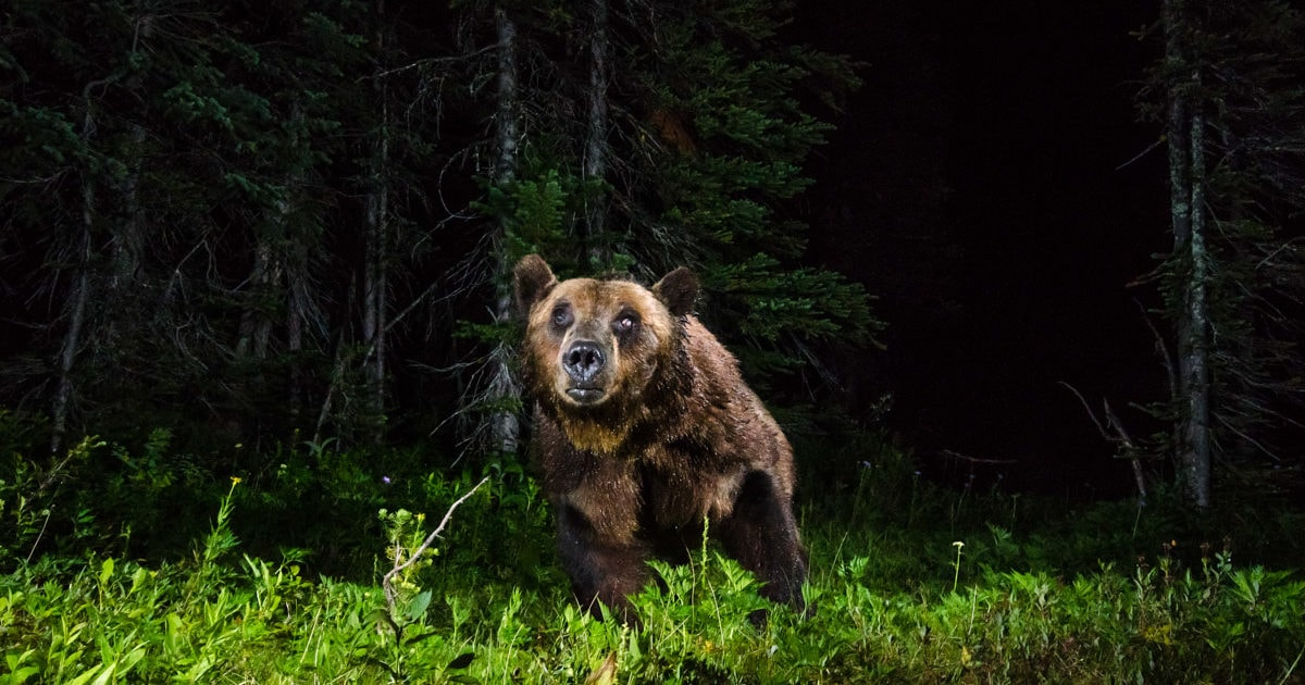 Grizzly bear BC