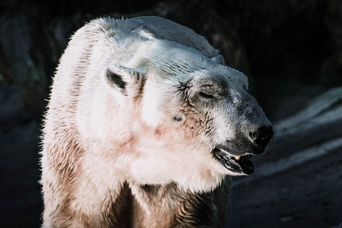 Polar bear species extinction
