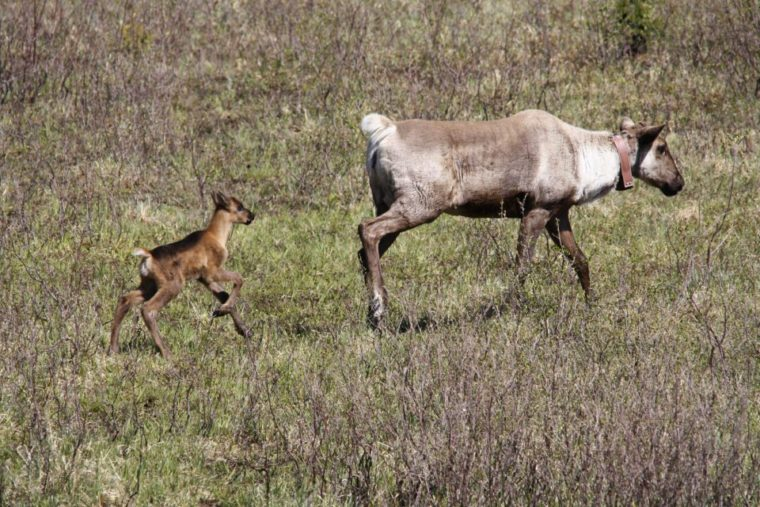 Klinse-Za herd