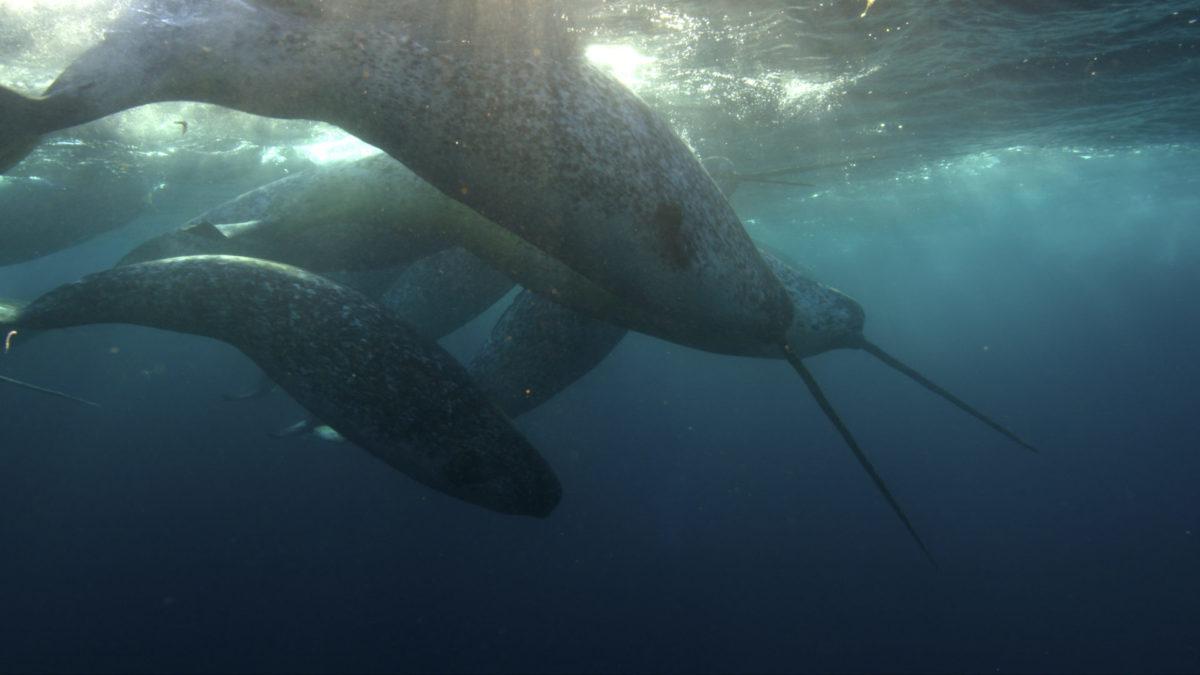 Underwater narwhals Doug Anderson / Netflix / Silverback