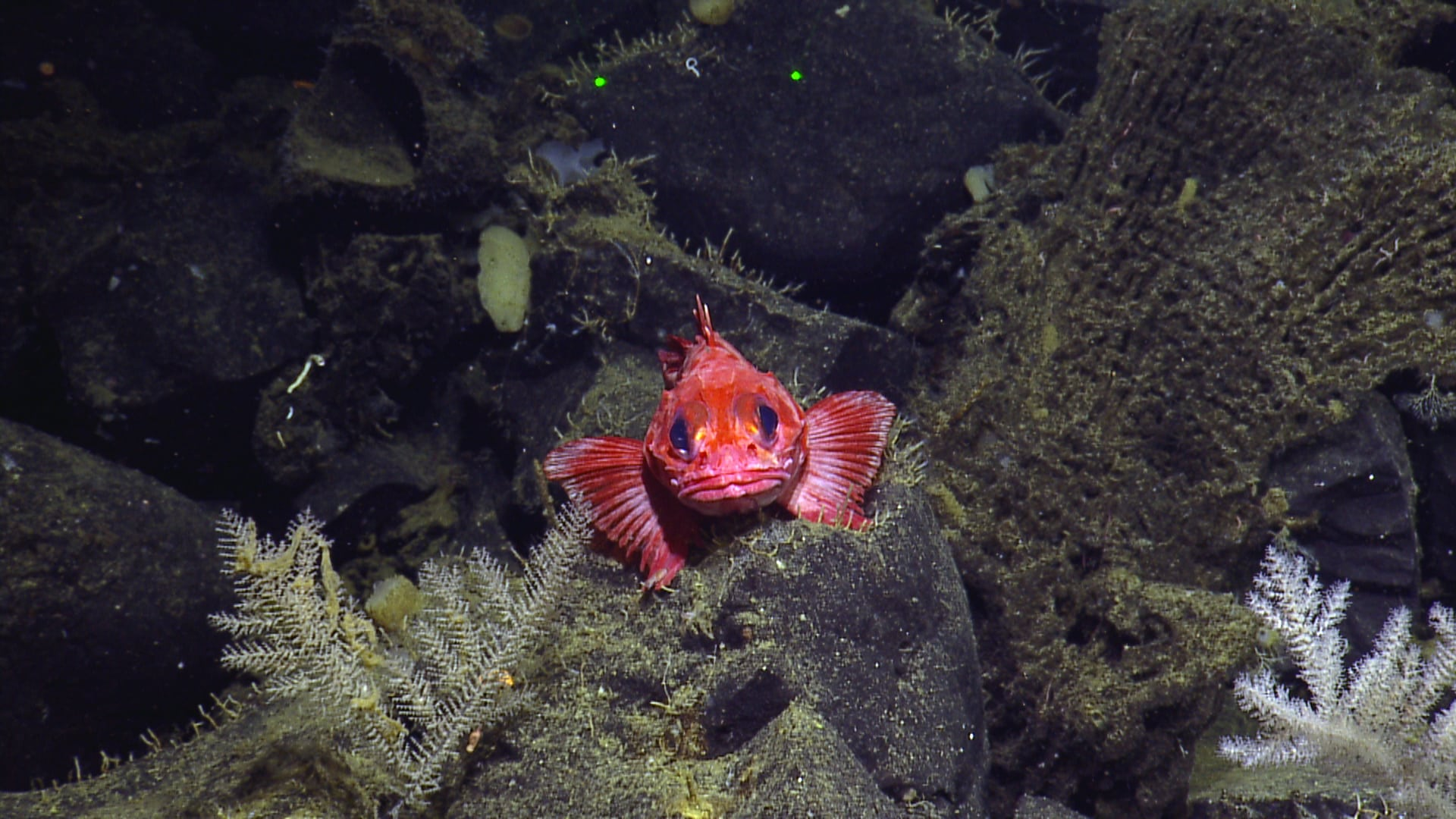Seamount fish