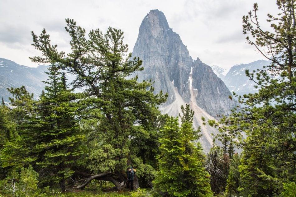 Whitebark pine