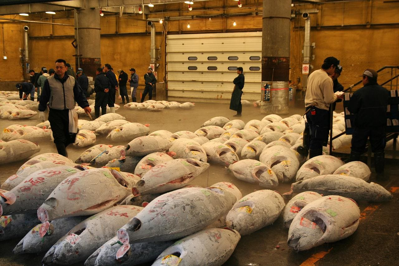 Frozen bluefin tuna being auctioned at Tsukiji Market in Tokyo. Photo: Matt Saunders