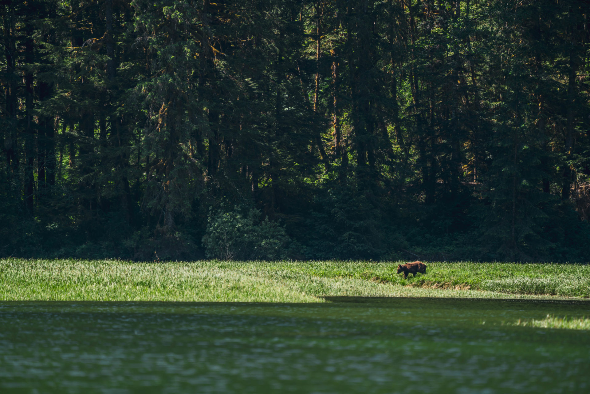 Grizzly bear in Great Bear Rainforest