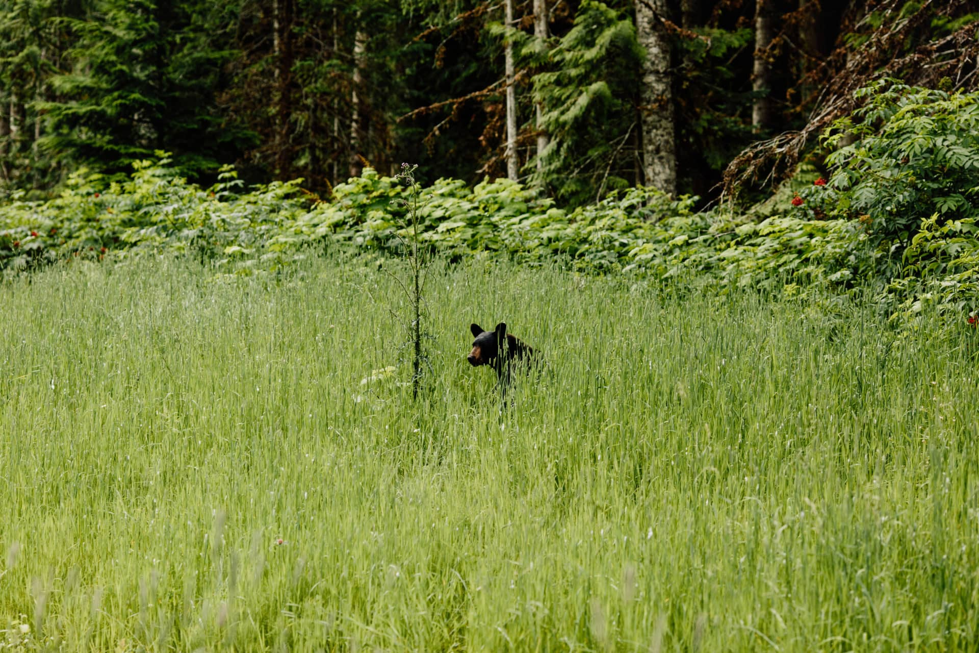 Black bear in the inland temperate rainforest