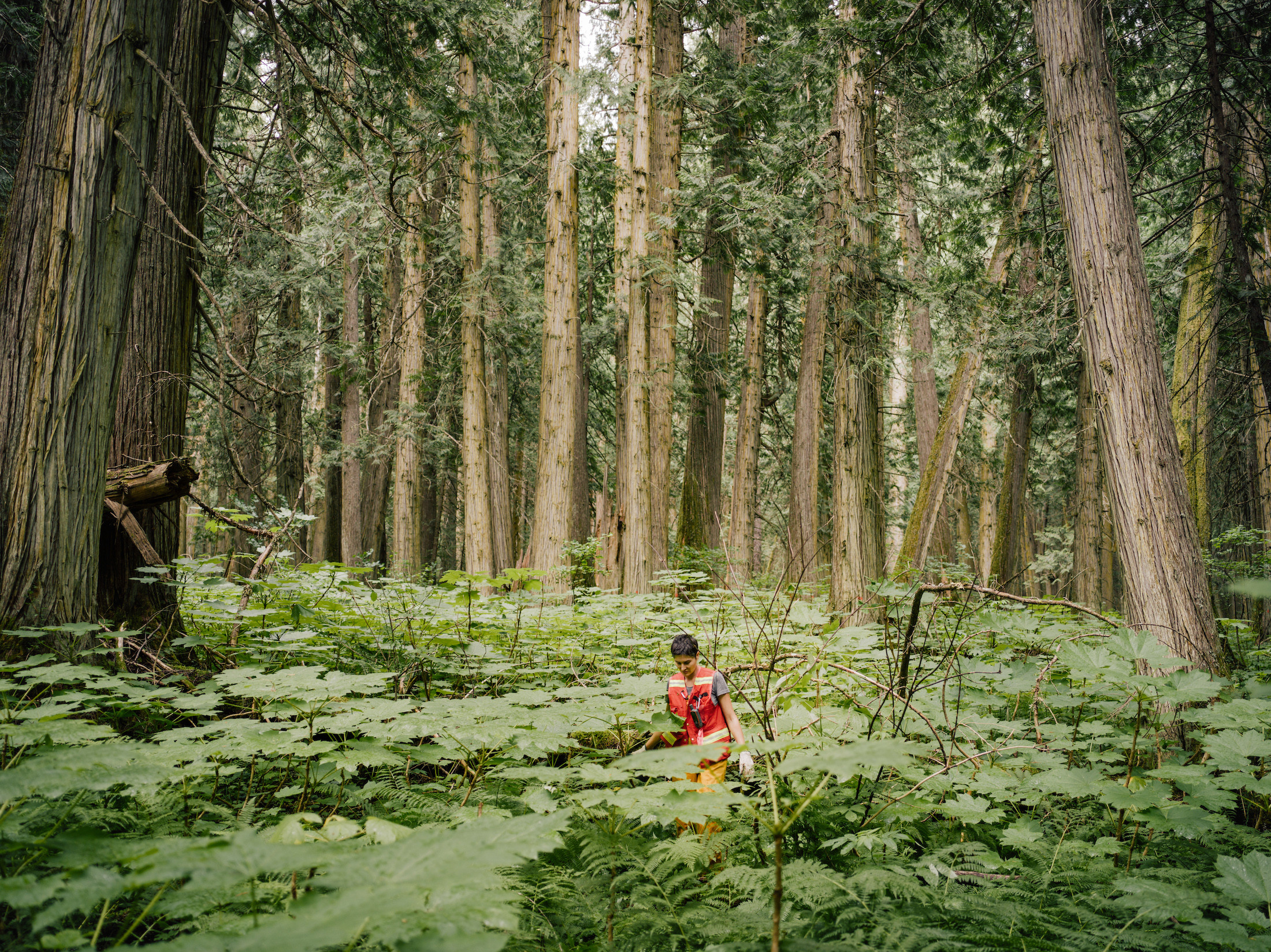 Michelle Connolly surveys old-growth cedars in B.C.'s inland temperate rainforest