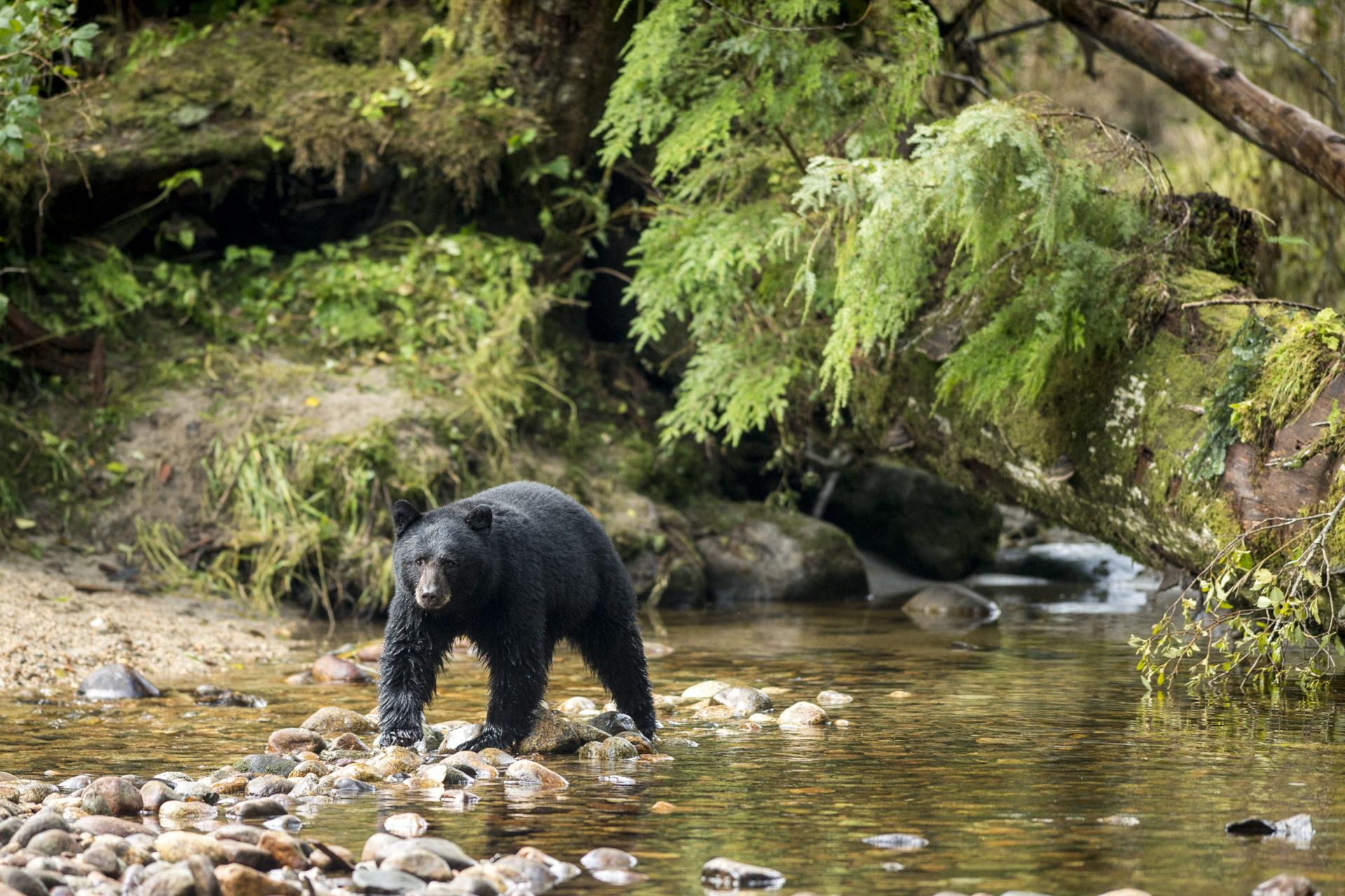 Black bear in the Great Bear Rainforest