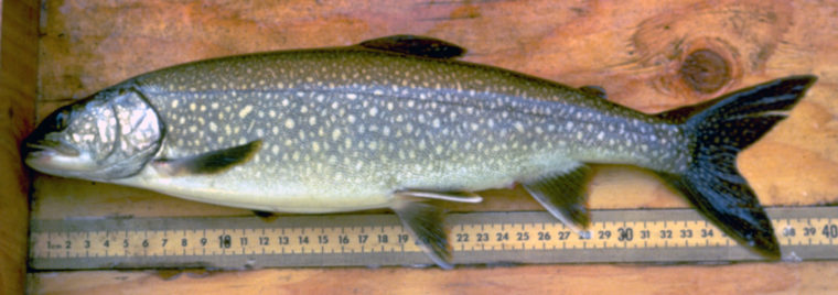 Healthy trout