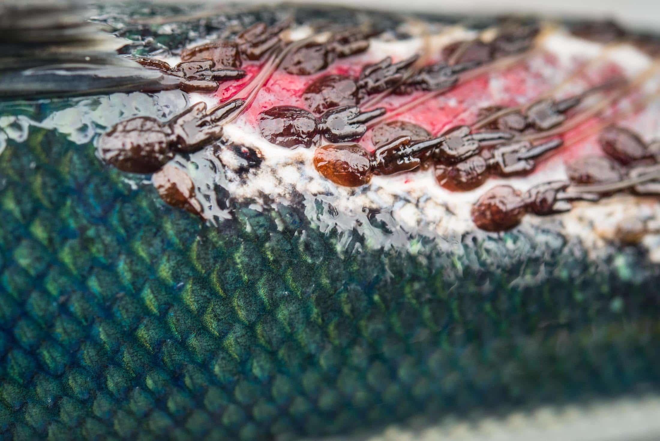 Fraser River sockeye salmon sea lice Tavish Campbell
